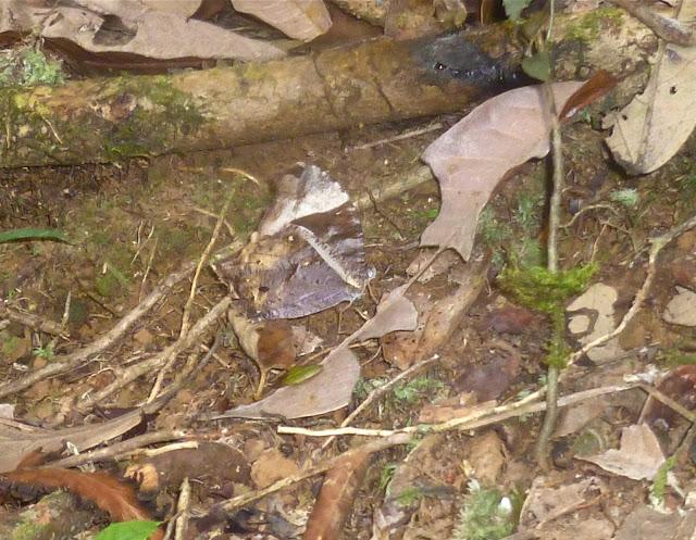 Gnophodes betsimena betsimena (BOISDUVAL, 1833). Parc Andasibe-Mantadia, Périnet (Madagascar), 30 décembre 2013. Photo : J. Marquet