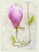 D_G_A_WendtA_Magnolia Flower.jpg