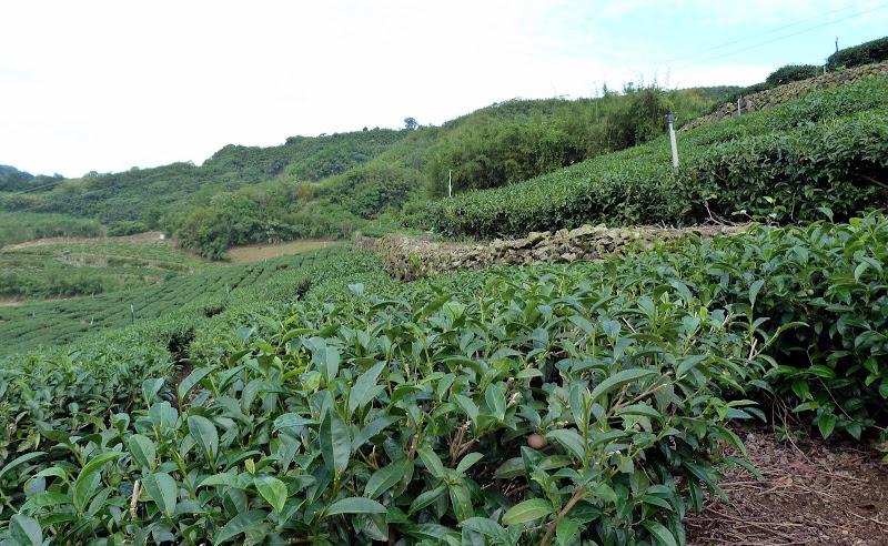 TAIWAN  Dans la region d ALISHAN - P1130860.JPG