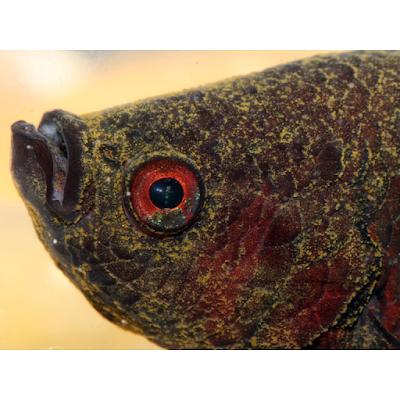 Ikan laga mati sebab kena Velvet (penyakit ikan laga)