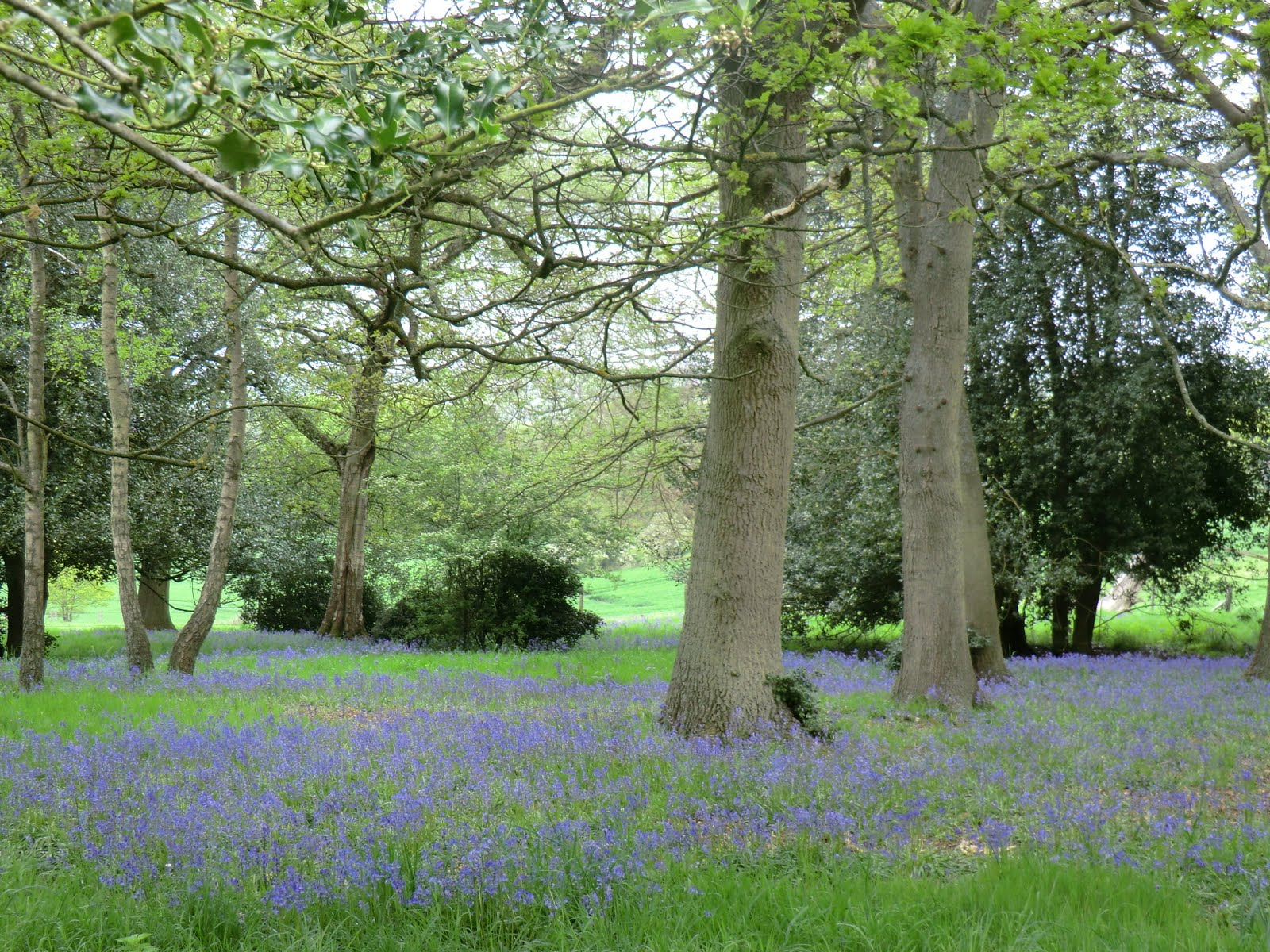 CIMG2934 Bluebells, Squerryes Park