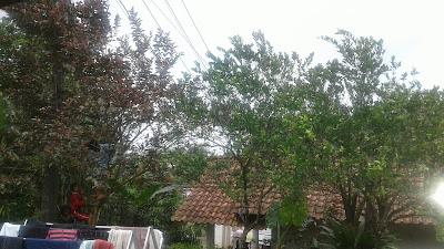 Siang Itu Di Sebuah Pohon Jambu