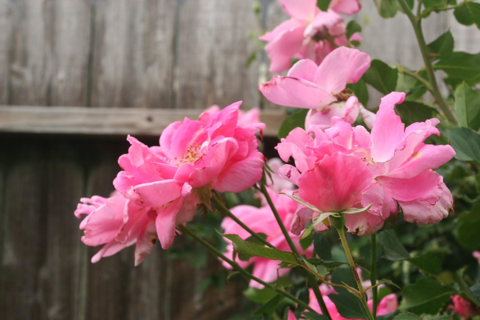 Gardening 2012 - IMG_3303.JPG
