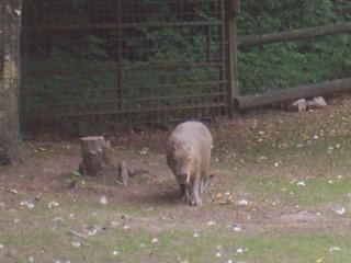 2008.07.01-045 capybara