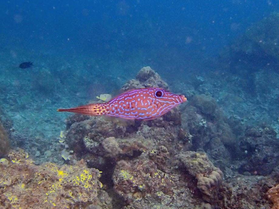 Aluterus scriptus (Scrawled Filefish), Miniloc Island Resort reef, Palawan, Philippines.