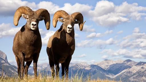 Bighorn Sheep, Jasper National Park, Canada.jpg