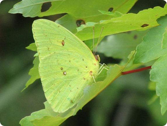 25 Van Fleet - Cloudless Sulphur Phoebis sennae Butterfly