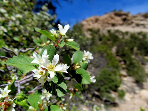 Flowering Serviceberry bush