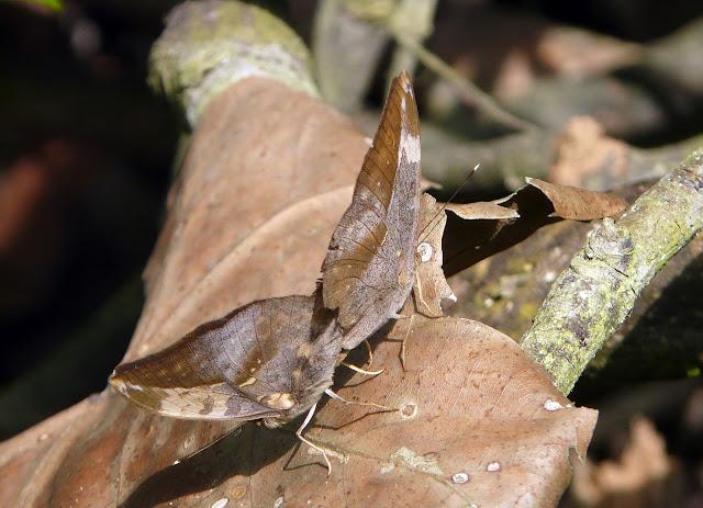 Couple de Bebearia sophus FABRICIUS, 1793 (mâle à gauche). Bobiri Forest (Ghana), 16 décembre 2009. Photo : J. F. Christensen