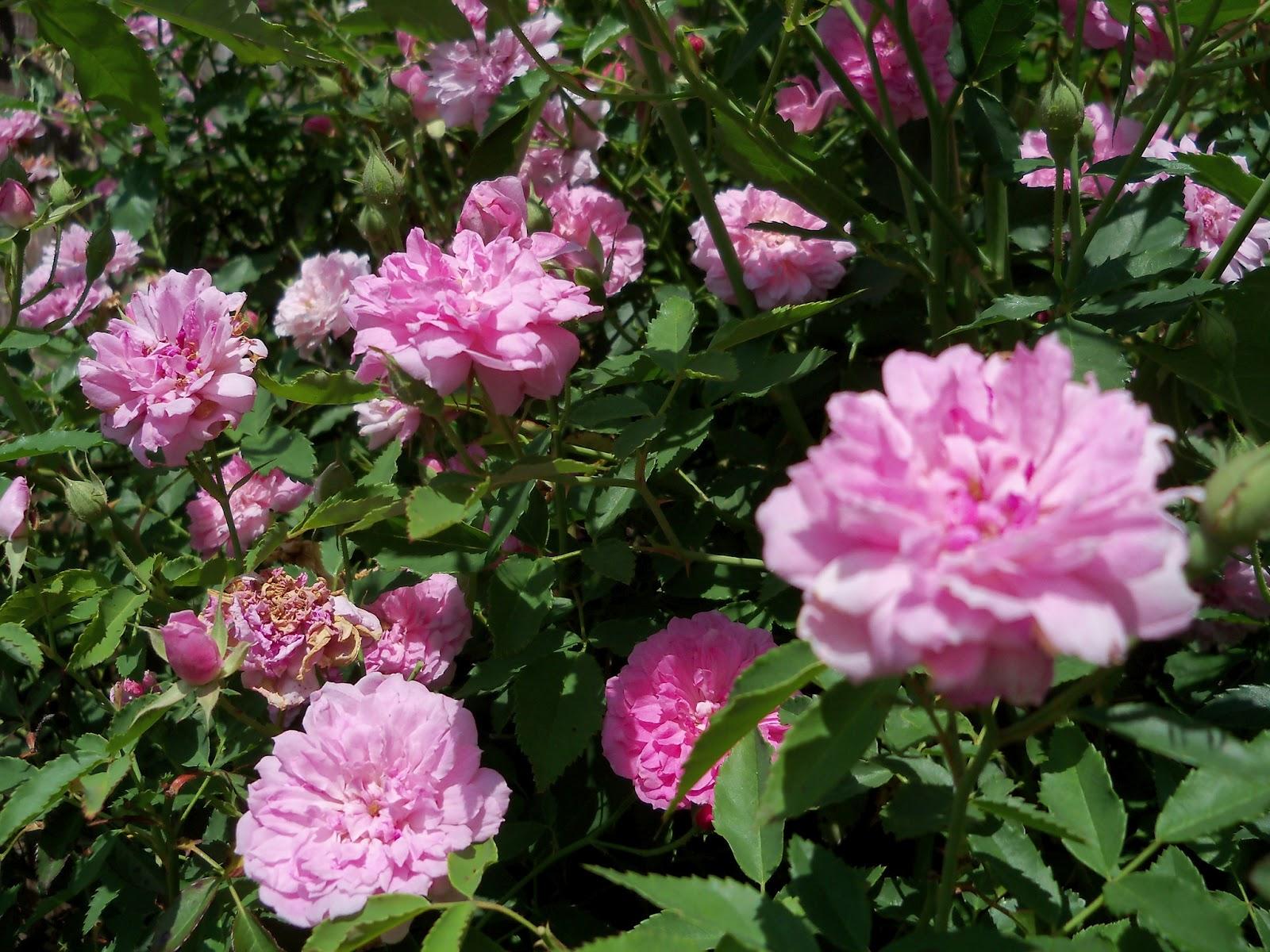 Gardening 2012 - 115_1737.JPG