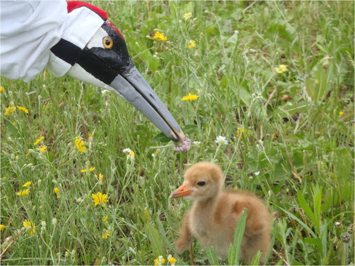 Whooping crane puppet and chick. The International Crane Foundation