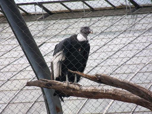 Condors at the National Aviary