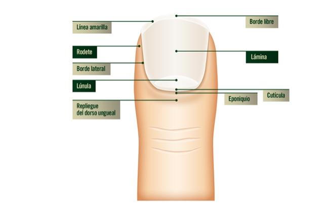 Glittteriana : Dudas , mitos y verdades de las uñas . Parte 1 ...