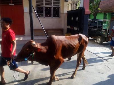 Inilah sapi Bali yang akan disembelih sebagai hewan qurban