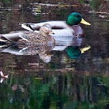 real-mallard-pair_MG_2330-copy.jpg