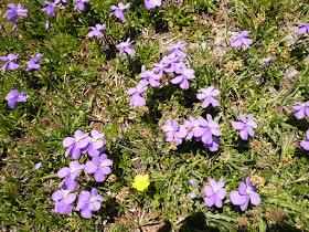 violette Viola rupestris 2.JPG