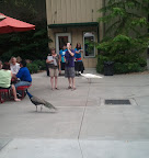 A couple of Zoo Residents (peacocks) hanging with the public, wishin' they could get their beer on.