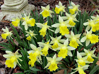 Mini White and Yellow Daffodils 'Topolino' Sing a Spring Song