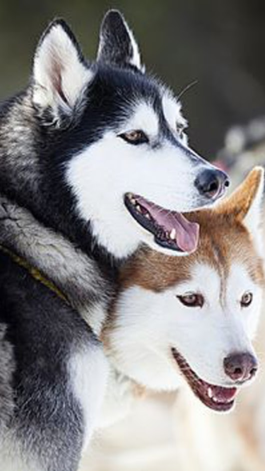 siberian huskies hd wallpaper siberian husky dog breed the siberian