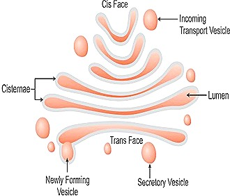 what are the functions of the golgi complex