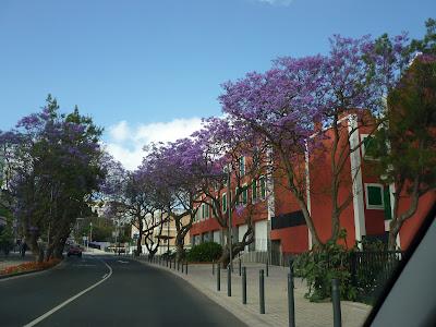 Lila Bäume an einer Straße in Arucas
