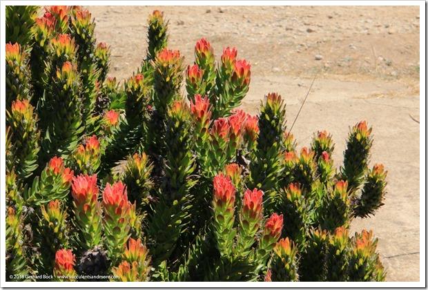 160813_UCSC_Arboretum_Mimetes-cucullatus_004