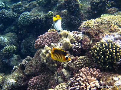 008 Fähnchen-Falterfisch (Chaetodon auriga)  Tabak-Falterfisch  Ägypten Dez 2014 - Marsa Alam - Coraya Bay IMG_0283