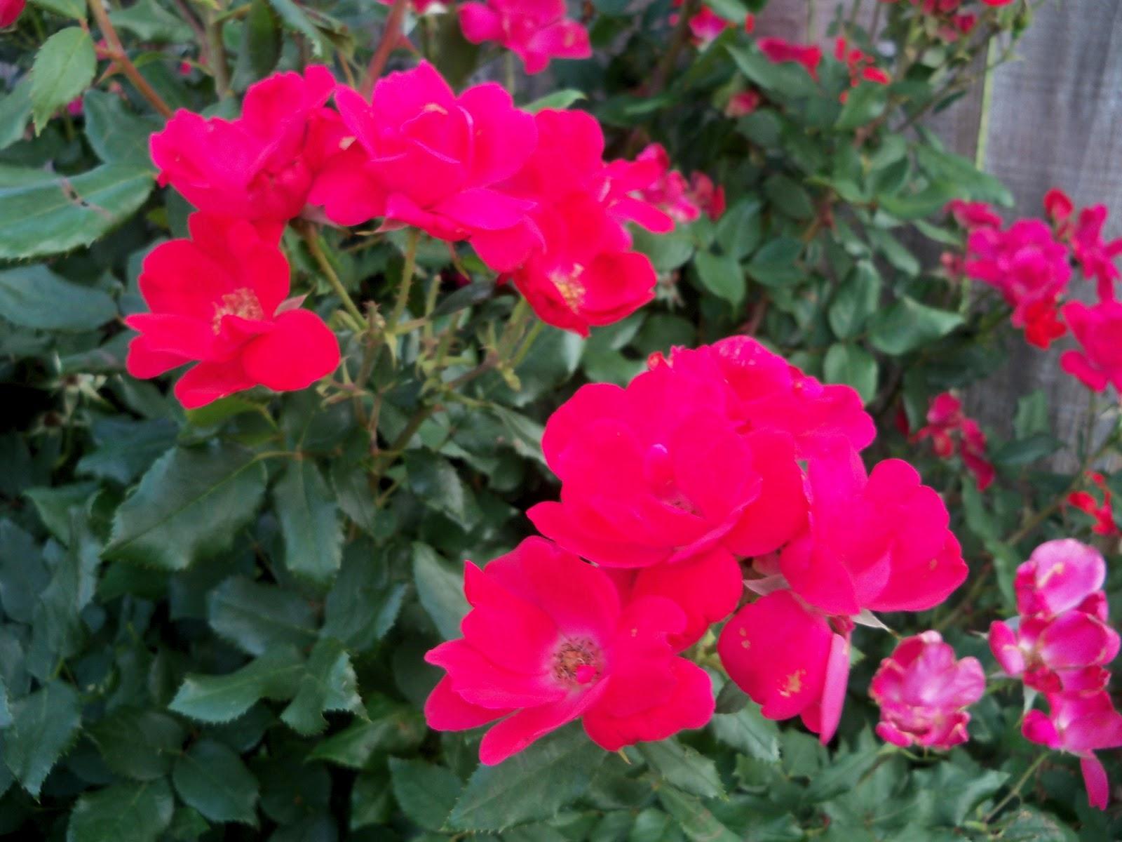Gardening 2011 - 100_8239.JPG