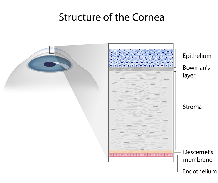 5 Layers of the human cornearnea