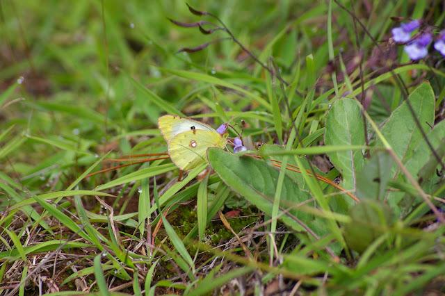 Colias erate sinensis VERITY, 1911, 1855, femelle. Lac Lashi (2500 m) à l'ouest de Lijiang, 16 août 2010. Photo : J.-M. Gayman