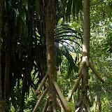 PandanusTogianKep2008