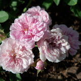 Gardening 2010 - 101_1475.JPG