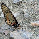 Acraea pseudegina WESTWOOD, 1852, mâle. Ebogo (Cameroun), 25 avril 2013. Photo : Daniel Milan
