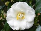 白色 八重咲き 乱れ気味の筒しべ 中輪