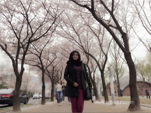 sakura, musim bunga korea, korea