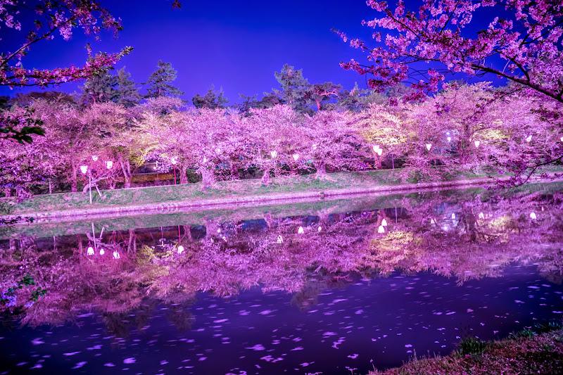 弘前公園 夜桜 ライトアップ 写真13