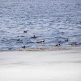 Hooded Mergansers on Little Lake, Peterborough, ON