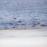 Hooded Mergansers on Little Lake, Peterborough, ON