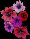 Anemones Wind Flower