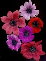 Anemones Wind Flower, Gods And Goddesses 7
