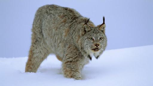 Stalking Canada Lynx, Idaho.jpg