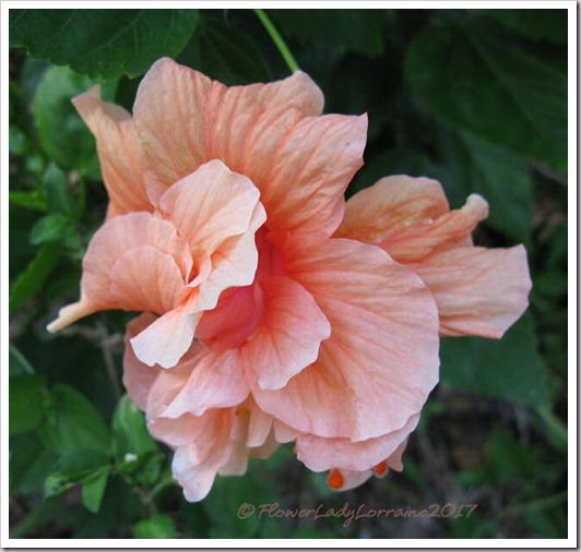 12-27-hibiscus