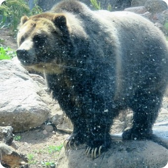 Grizzly Bear at Cheyenne Mountain Zoo