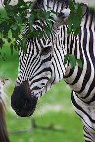 Zebra, Zimbabwe
