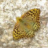Pandoriana pandora DENIS & SCHIFFERMÜLLER, 1775, mâle.  Col de Bacinu (800 m), Corse du Sud, août 2006. Photo : J.-M. Gayman