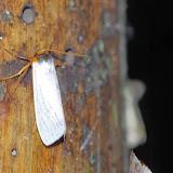 Lithosiinae : Macrocrambus plateada DOGNIN, 1894 (?). Los Cedros, 1400 m, Montagnes de Toisan, Cordillère de La Plata (Imbabura, Équateur), 18 novembre 2013. Photo : J.-M. Gayman