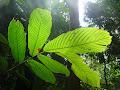 Leaf | photo © HughStLawrence