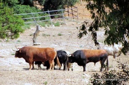 Toros bravos de la Ganadería Torrestrella