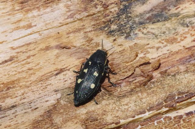 Buprestis novemmaculata (L., 1758). Chemin de La Rodé (620 m), Cocurès (Lozère, France), 5 août 2014. Photo : J.-M. Gayman