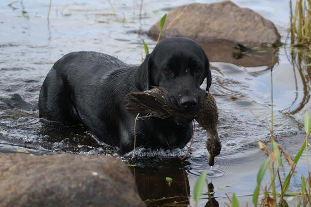 Labradorinnoutaja Tavi Metsästys Sorsajahti